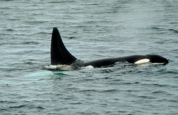 Killer Whales Trapped in Hudson Bay