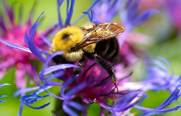 Help the Native Bee Species of Maine